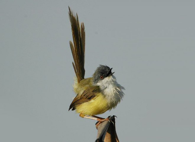 burung prenjak rawa