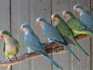 Dianggap sebagai hama lantaran sering merusak pertanian dan mengganggu spesies burung asli