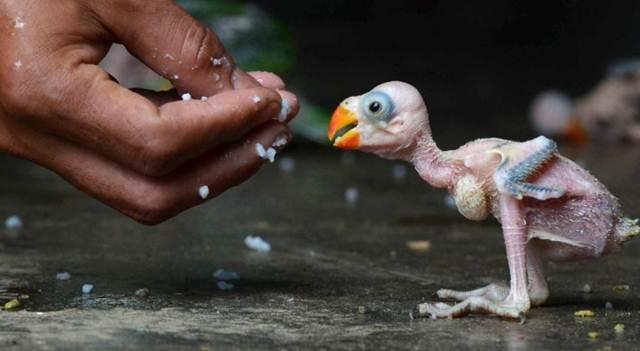 Cermat sebelum memiih dan membeli anakan burung jenis paruh bengkok