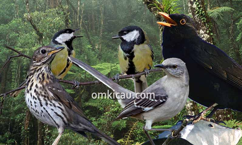 Download audio masteran burung Eropa popular durasi panjang