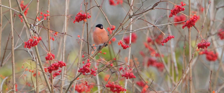 bullfinch di kebun berry