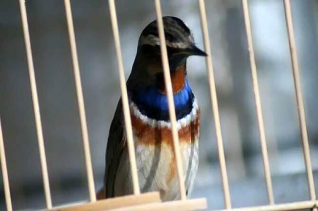Burung bluethroat yang popular di beberapa negara di Asia sebagai burung peliharaan