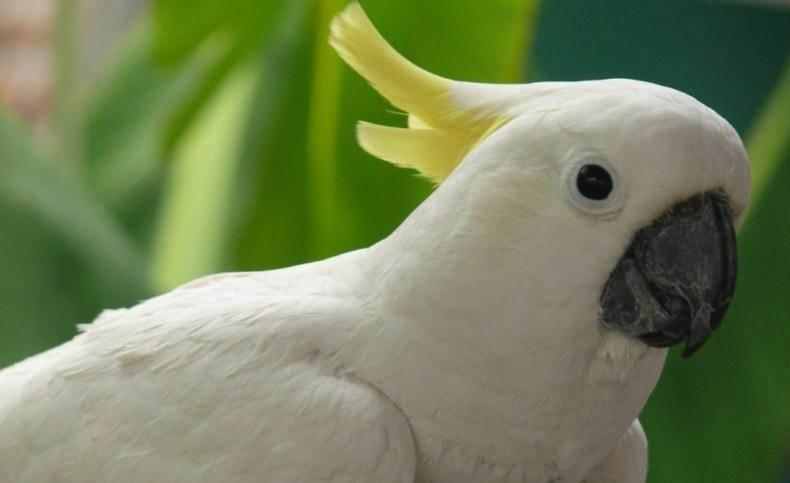 burung kakatua