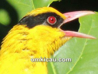 Burung kepodang si pesolek bersuara merdu