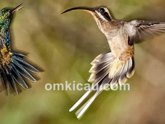 Burung kolibri paruh panjang yang mengusir kolibri lain
