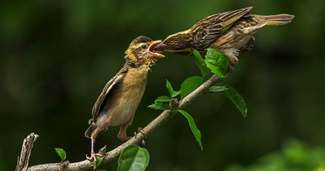 burung manyar lolohan