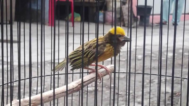 Burung manyar semakin digemari karena kemampuanya berkicau