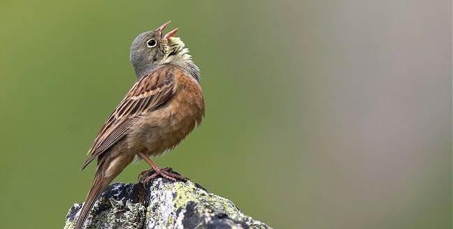 Burung ortolan bunting yang semakin langka akibat perburuan untuk konsumsi