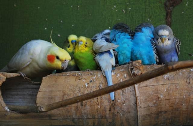 Burung paruh bengkok harus mendapat asupan pakan penuh gizi selama musim penghujan untuk menjaga kondisi dan staminanya
