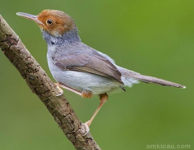 Burung prenjak, meski bertubuh kecil namun termasuk jenis burung yang sangat aktif dan tak pernah beristirahat