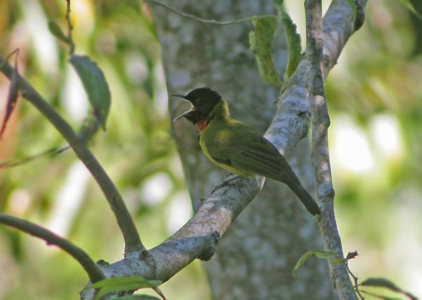 Samyong atau dikenal juga sebagai burung arwah (garugiwa)