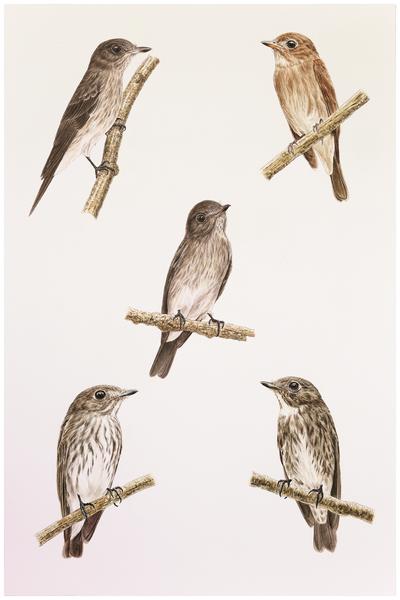 Perbandingan spesies burung Sulawesi streaked flycatcher (kiri atas) dengan Asian brown flycatcher (kanan atas), Dark-sided flycatcher (kanan bawah) dan Gray streaked flycatcher (kir bawah)