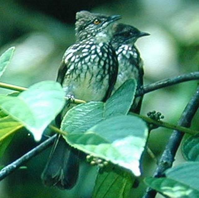 Sepasang burung cucak kerinci yang sulit dibedakan jenis kelaminnya karena mempunyai penampilan serupa