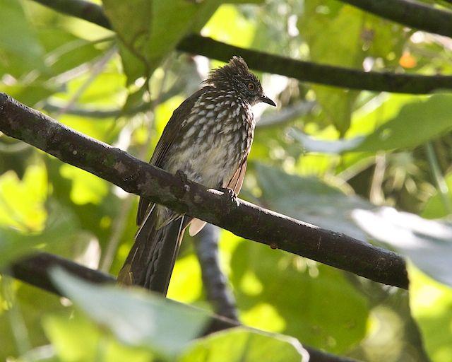 Burung cucak kerinci atau Cream-striped bulbul