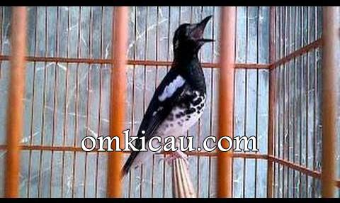 Burung pendamping untuk anis kembang