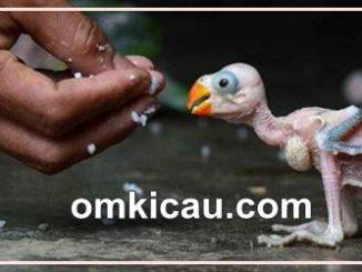 Jika anakan burung paruh bengkok tersedak benda asing