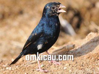 Village indigo burung parasit bersuara merdu