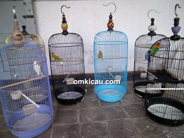 Breeing lovebird Om Antok Palm