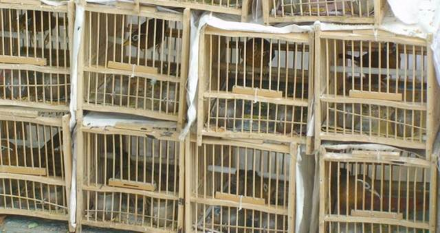Burung hwamei di sebuah pasar burung