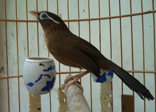 Burung hwamei jantan banyak dicari lantaran memiliki suara yang bervariasi dan bersifat fighter
