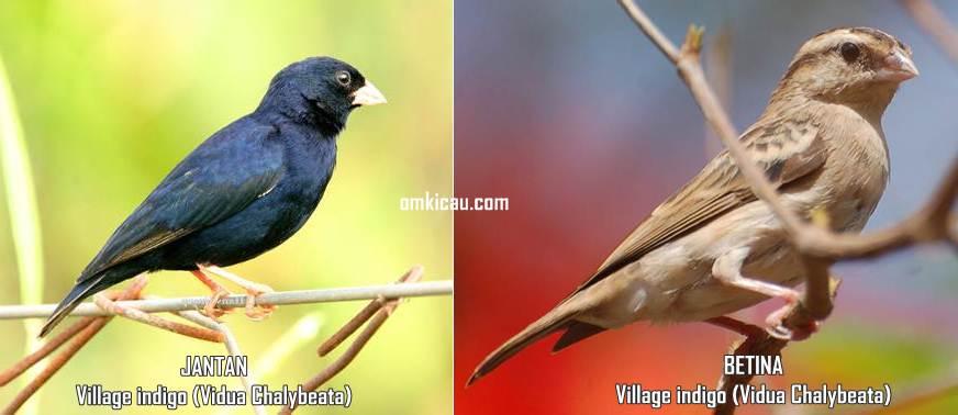 Perbedaan jantan dan betina burung village indigo