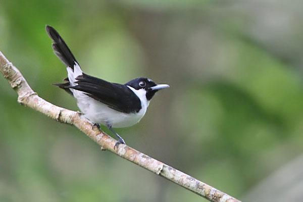 Kehicap boano (Monarcha boanensis) burung endemik Indonesia yang sulit ditemukan