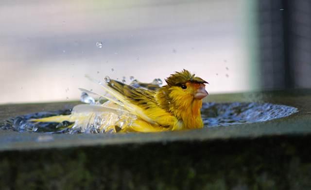 Kenari yang sedang mandi