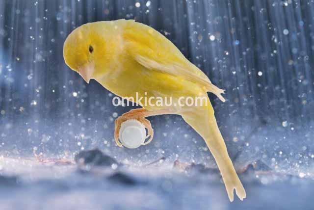 Menjaga kondisi dan suhu tubuh burung kenari di waktu musim hujan