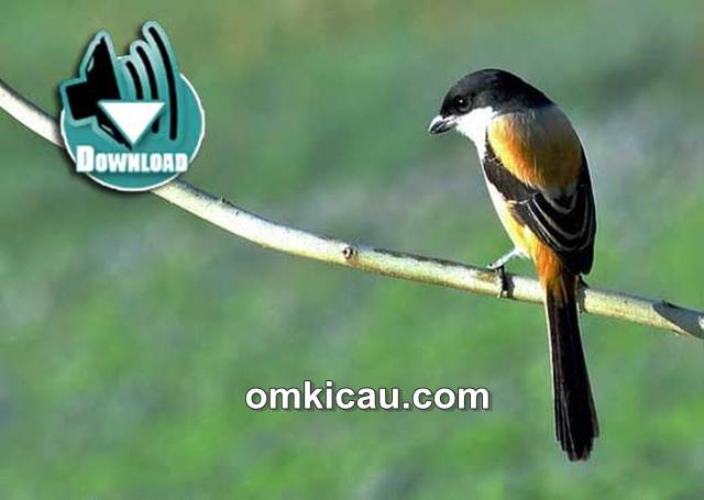 Kombinasi Suara Burung Cendet Untuk Masteran Om Kicau