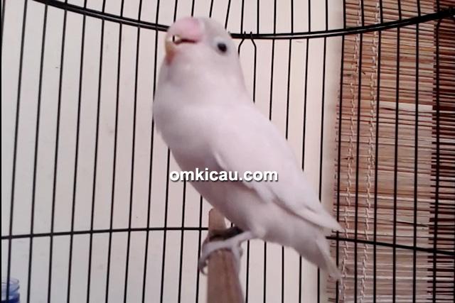 Lovebird Putri Salju