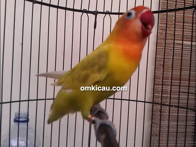 Lovebird Sujimat