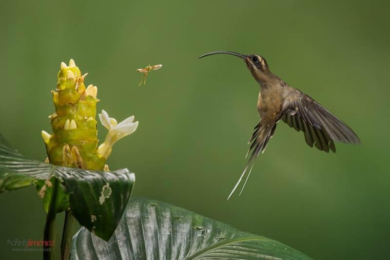 Burung kolibri paruh panjang dari Kosta Rika