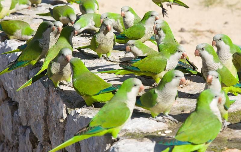 Monk parakeet, burung hama yang pintar meniru berbagai suara