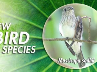 spesies burung baru di Indonesia