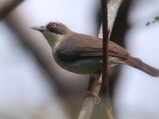 Opior paruh tebal burung endemik dari NTB
