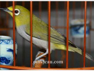 Perlakuan dan perawatan khusus yang diterapkan pada burung pleci bisa menjadikan pleci memiliki karakter dan mental yang baik dan tampil maksimal