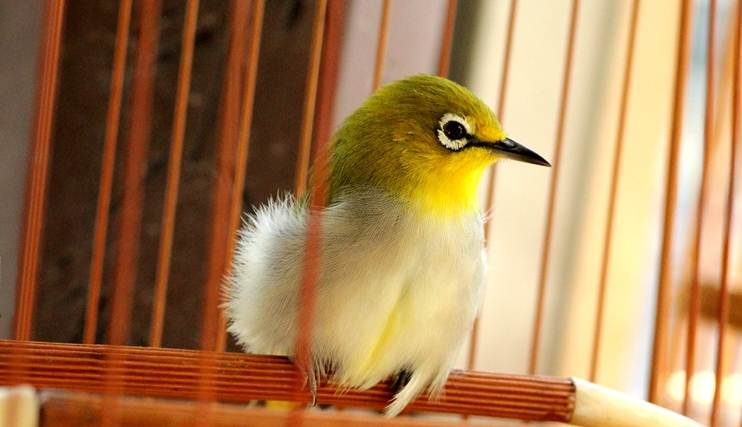 Burung peliharaan seperti pleci dikenal sebagai burung pemakan buah-buahan