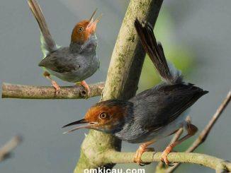 Burung prenjak butuh asupan pakan yang bisa mendukung aktivitas hariannya