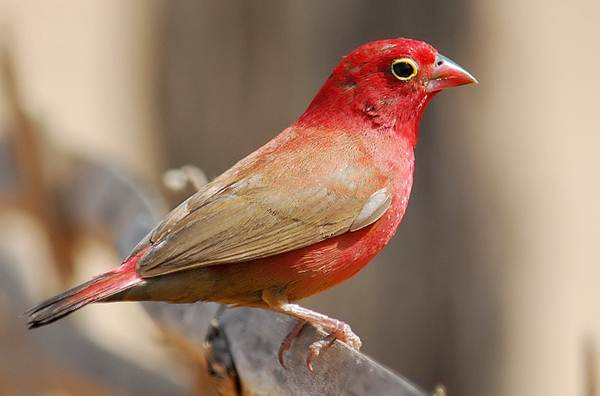 Red-billed firefinch (Lagonosticta senegala) burung yang sering dititipi telur oleh village indigo