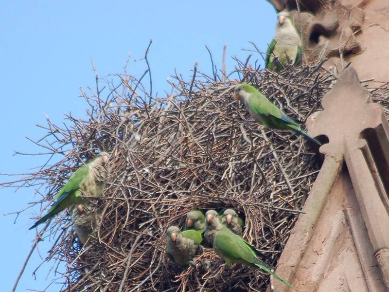 Sarang monk parakeet yang dibangun dari tumpukan ranting pohon dan diisi oleh seluru koloni