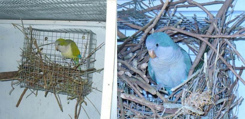 Tempat sarang yang digunakan ketika menangkarkan burung monk parakeet atau quaker parrot