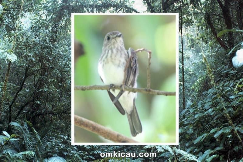 Sulawesi streaked flycatcher, spesies burung baru yang ditemukan di Sulawesi