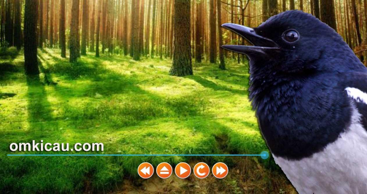 Kombinasi suara alam dan suara burung betina untuk memulihkan burung yang stress