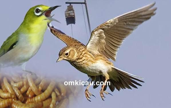 4 Hal yang bisa membuat burung branjangan berbunyi