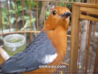 Burung anis merah yang bisa tampl maksimal jika dberikan perawatan yang tepat