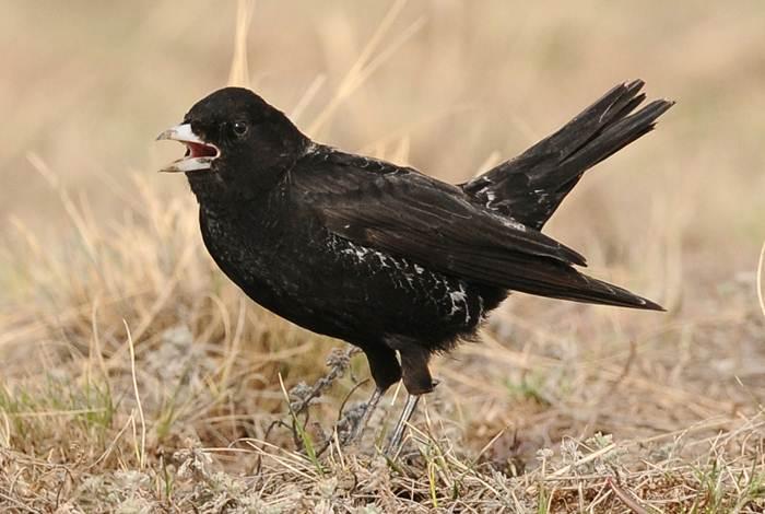 Burung black lark dengan tubuhnya yang berwarna hitam | foto birdwatch.co.uk