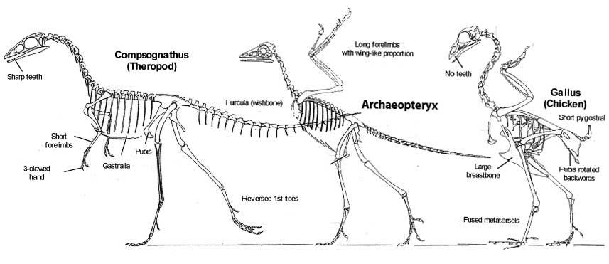 Evolusi burung