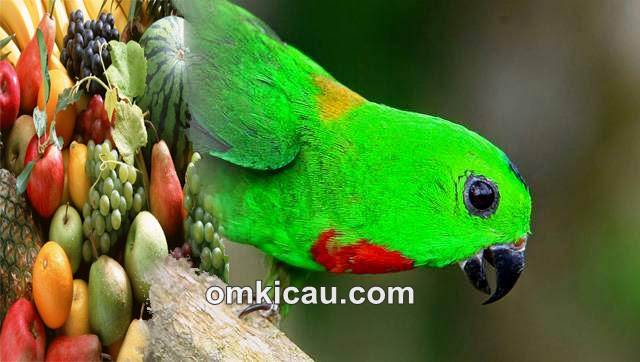 Agar burung serindit bisa rajin berbunyi maka pemberian pakannya harus diperhatikan
