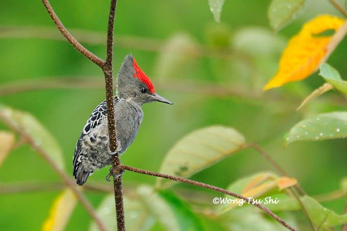 Caladi tikotok atau Grey-and-buff wodpecker (Hemicircus concretus)