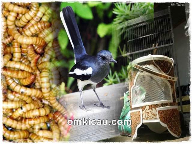 Cegah burung yang lepas terbang jauh dengan melatihnya mengenali kotak pakannya